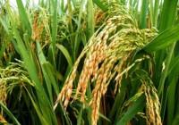 水稻的常见的病虫害及防治方法